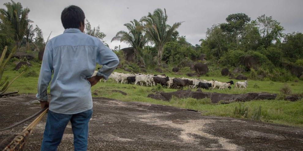 Ein Indigener beobachet Rinder in der Nähe des Territoriums der Uru-Eu-Wau-Wau im Bundesstaat Rondônia.  Illegale Weiden sind ein Hauptgrund für die Entwaldung des Amazonas.  © Gabriel Uchida