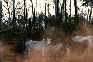 L'élevage illégal de bétail alimente la destruction de la forêt amazonienne
