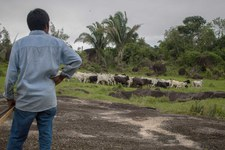 Du bétail élevé illégalement dans des zones protégées dans la chaîne d'approvisionnement de JBS