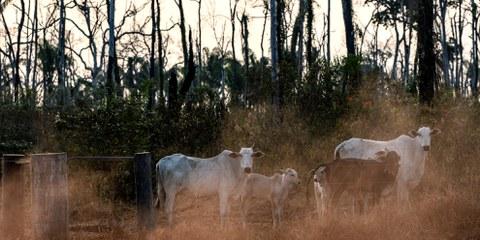 Queste mucche pascolano su un appezzamento di terreno all'interno dell'area indigena di Manoki nello stato del Mato Grosso nell'Amazzonia brasiliana, agosto 2019. © Marizilda Cruppe/Amnesty International